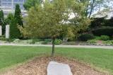 Pear tree and plaque in a park
