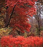 Ojibway foliage, red in the fall